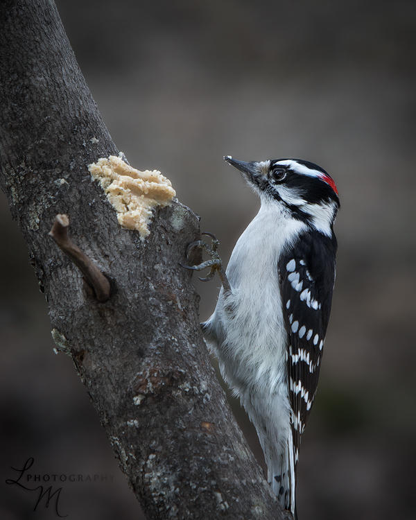 Thomas Malinski woodpecker and bark butter