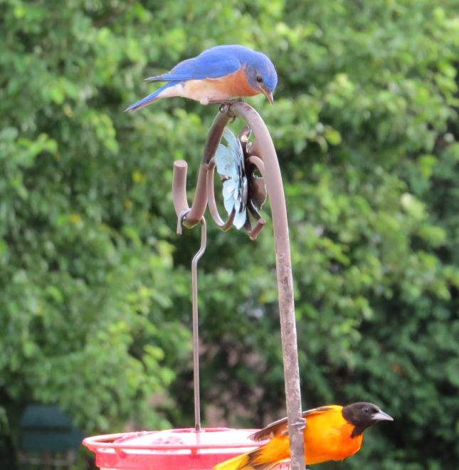 Caroline P bluebird and oriole