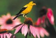 Am. Goldfinch